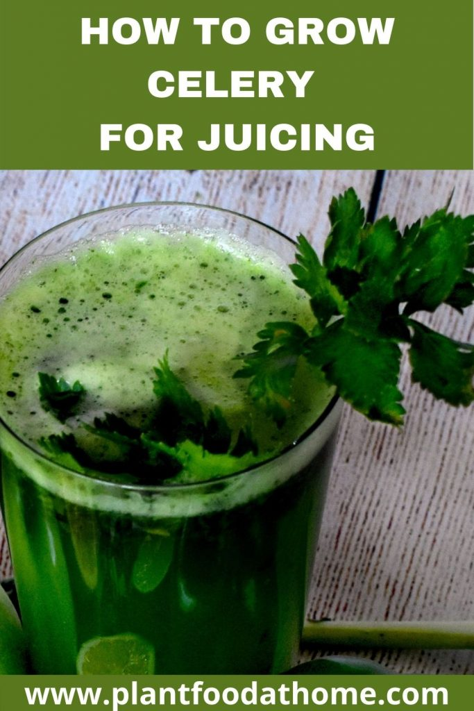 How to Grow Celery for Juicing