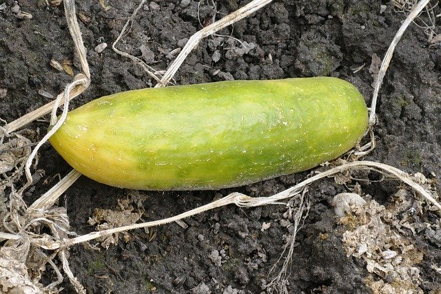Over Ripe Cucumber - Reasons Why Your Cucumbers are Turning Yellow
