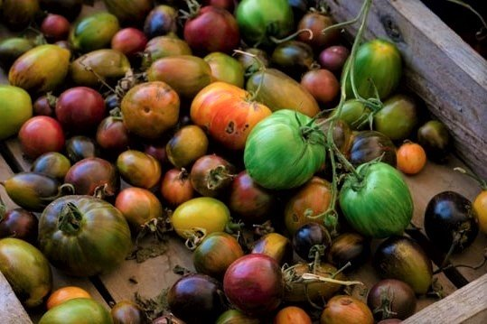 Ripening Green Tomatoes in Wooden Box - How to Ripen Green Tomatoes Indoors