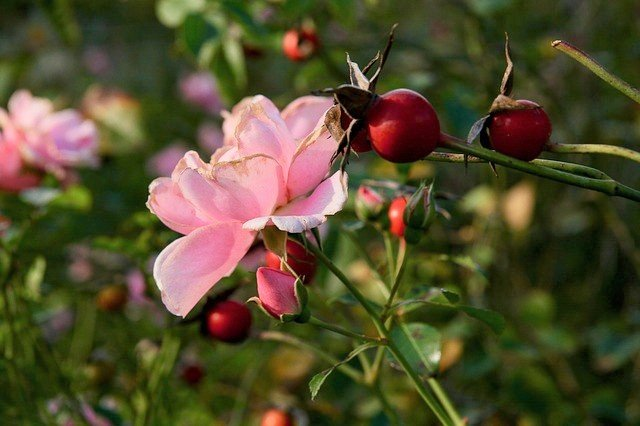 Rose and Rose Hips - What Are Rose Hips and How to Eat Them