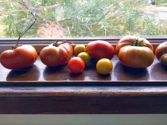 Tomatoes Ripening on a Windowsill - How to Ripen Tomatoes Indoors