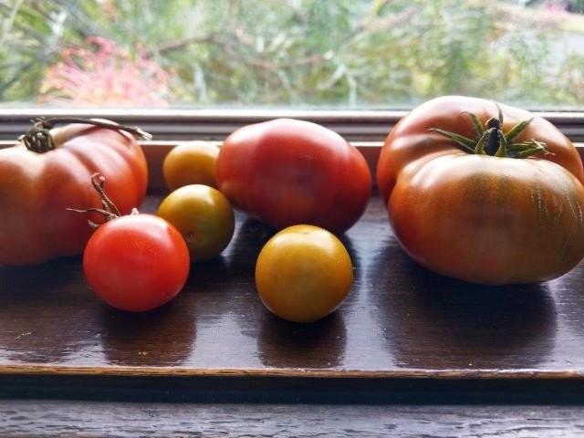 Tomatoes on the Windowsill Ripening - How to Ripen Tomatoes Indoors