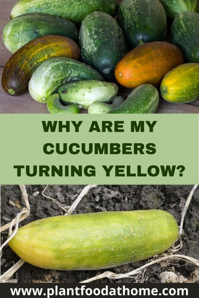 Why Are My Cucumbers Turning Yellow