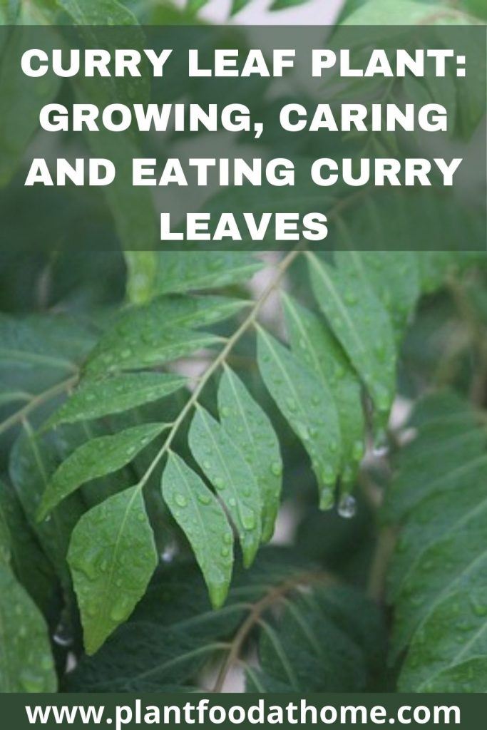 Curry Leaf Plant - Growing Caring and Eating Curry Leaves
