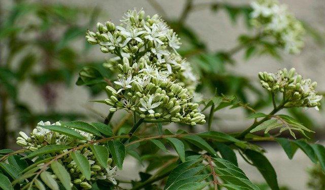 Curry Leaf Plant in Flower - How to Grow a Curry Tree