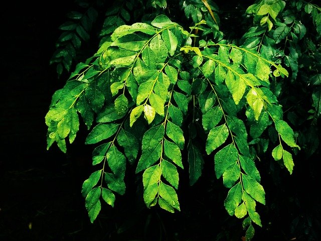 Curry Leaves - How to Grow a Curry Tree