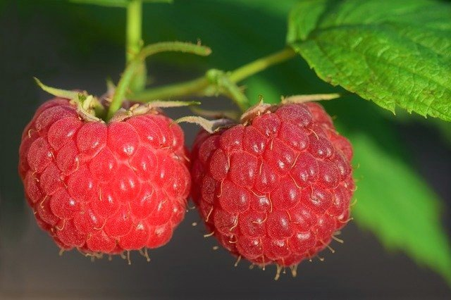How to Grow Raspberries From Seeds