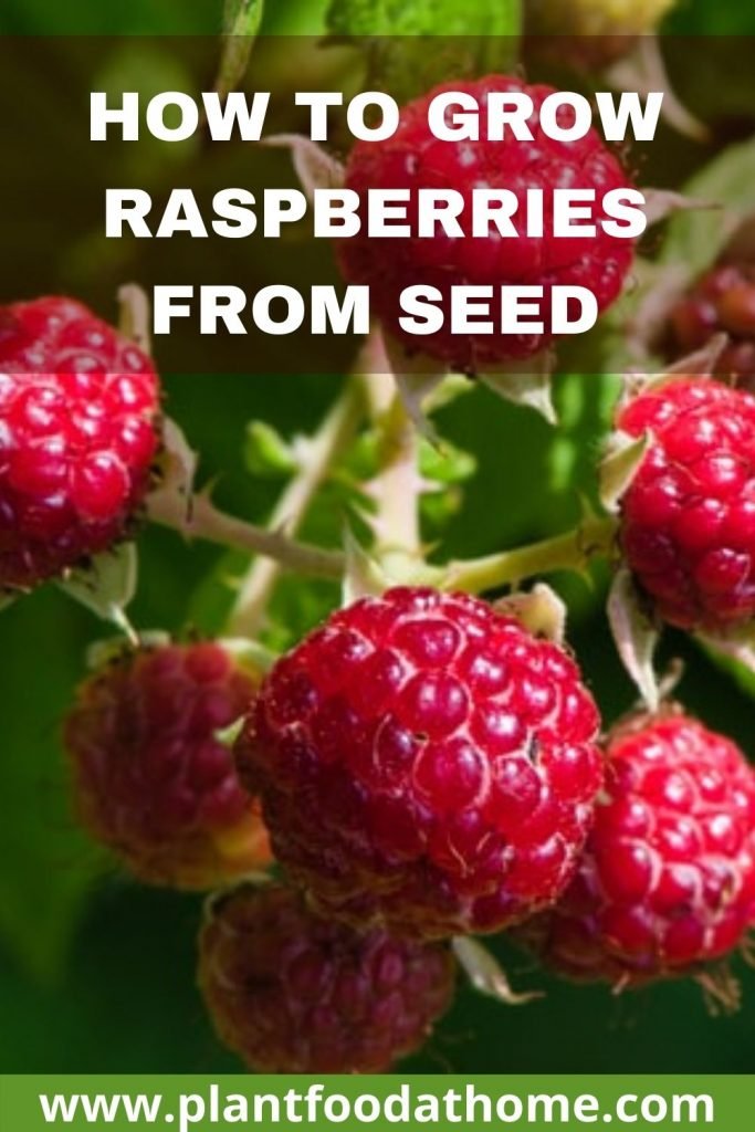 How to Grow Raspberries from Seeds at Home