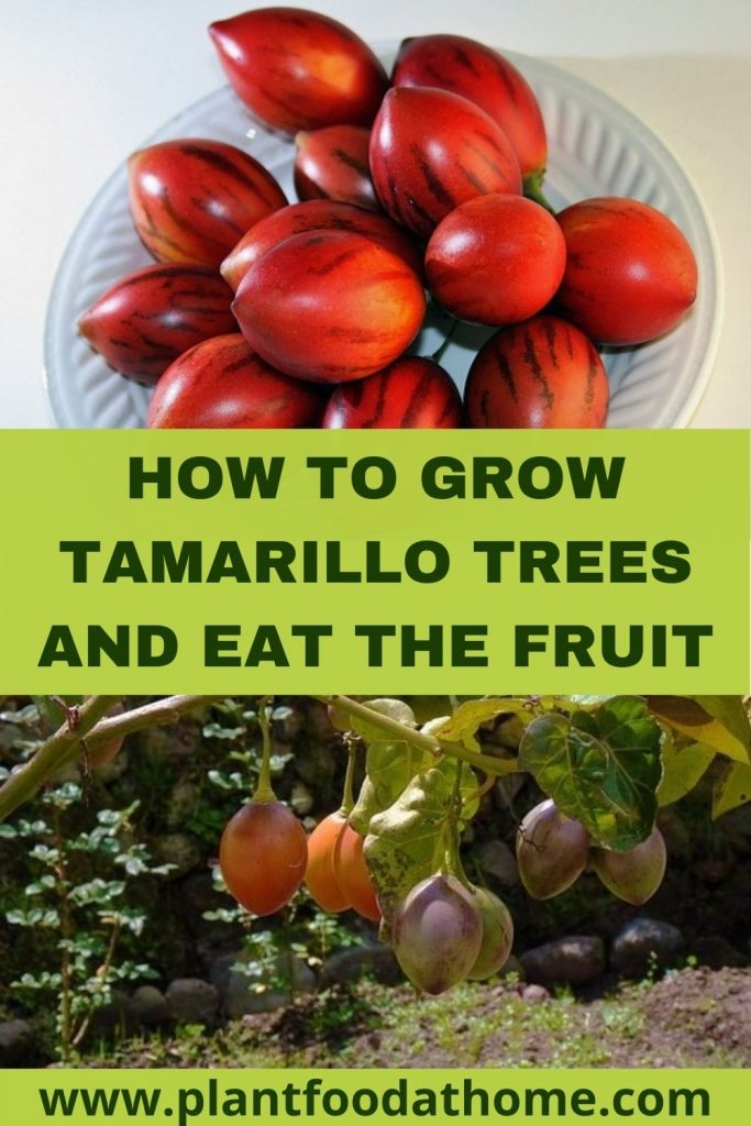 How to Grow Tamarillo Trees and Eat the Fruit