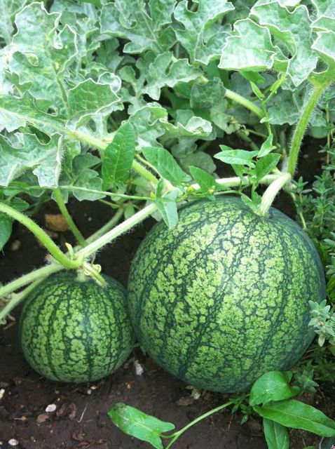 How to Grow Watermelon