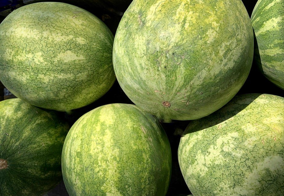 How to grow watermelon, planting caring and harvesting at home
