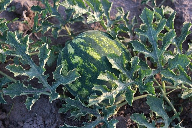 How to grow watermelon, planting caring and harvesting