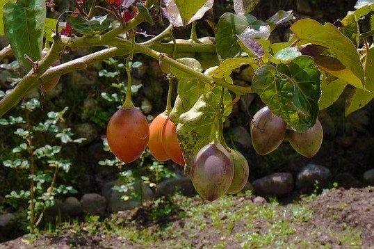 Orange Tamarillo Fruit - How to Grow Tamarillo Trees