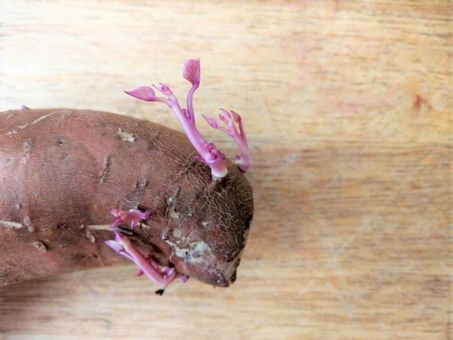 Sweet Potato Slips Growing From a Sweet Potato - How to Start Sweet Potato Slips