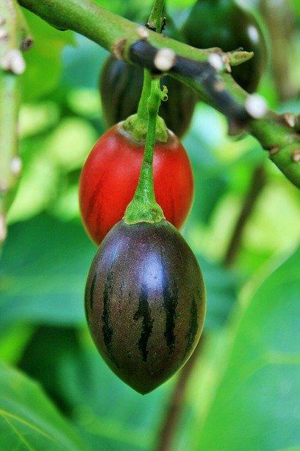 Tamarillo Ripening on the Tree - How to Grow Tree Tomatoes