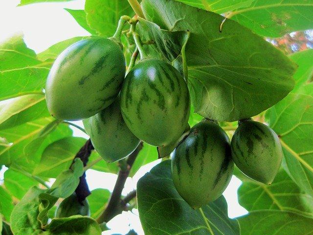 Unripe Tamarillo Fruit Growing on the Tree - How to Grow Tamarillo Tree Tomatoes
