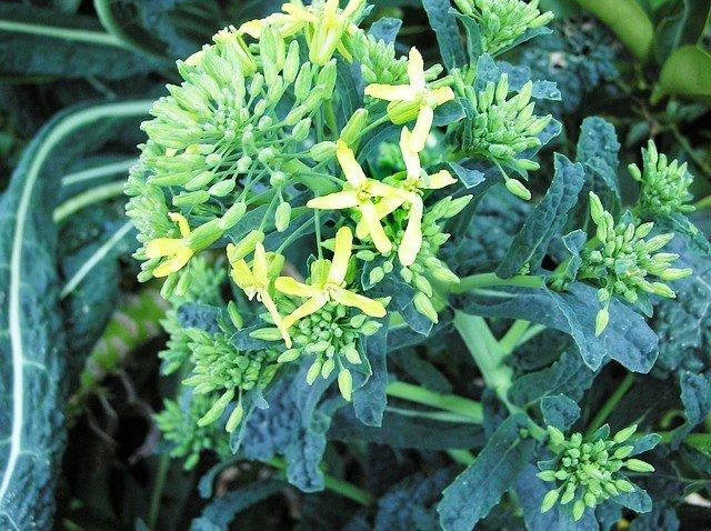Flowering Kale - How to Grow Kale