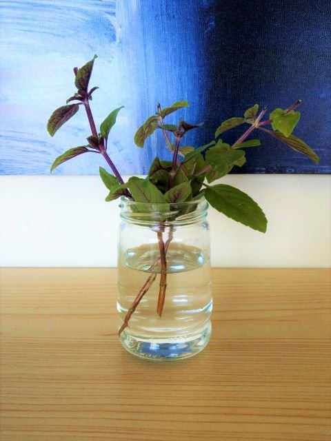 Growing African Blue Basil Cuttings in Water