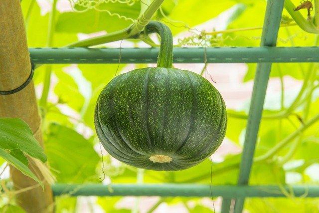 Growing Pumpkin on a Trellis