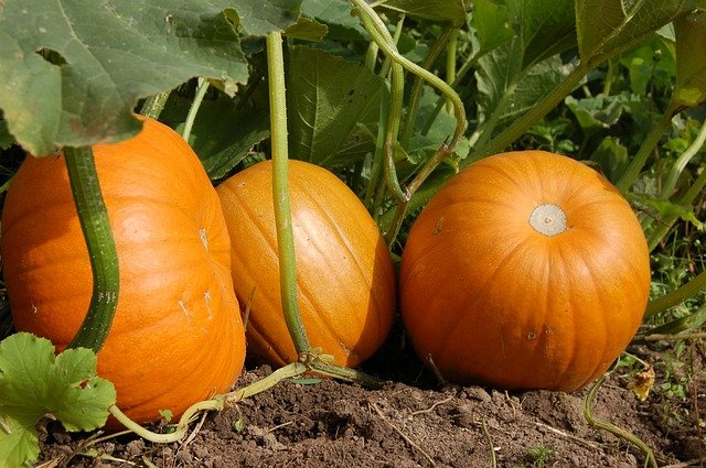 Growing Pumpkins at Home