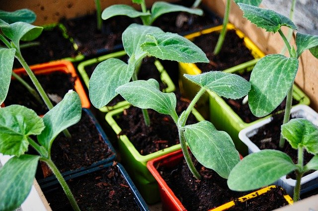 Growing Zucchini by Seed
