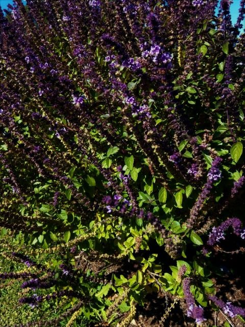 How to Grow African Blue Basil