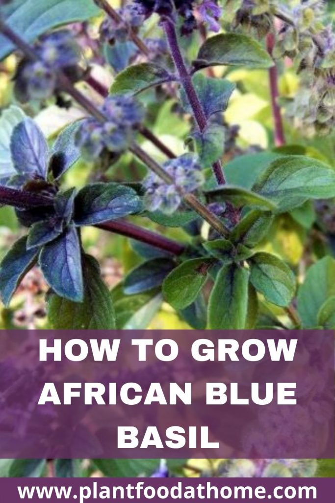 How to Grow African Blue Basil Plant