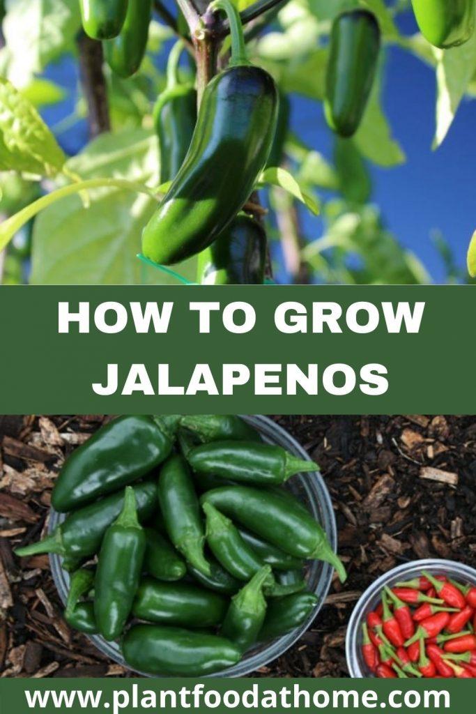 How to Grow Jalapenos