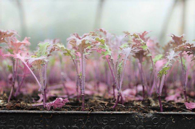 Kale Seedlings - How to Grow Kale from Seed