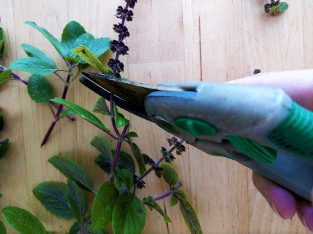 Propagating African Blue Basil Plant 3