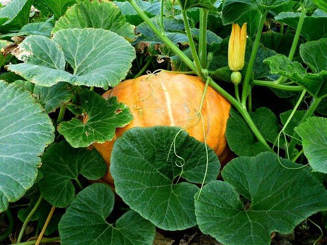 Pumpkin Female Flower Showing Fruit Attached