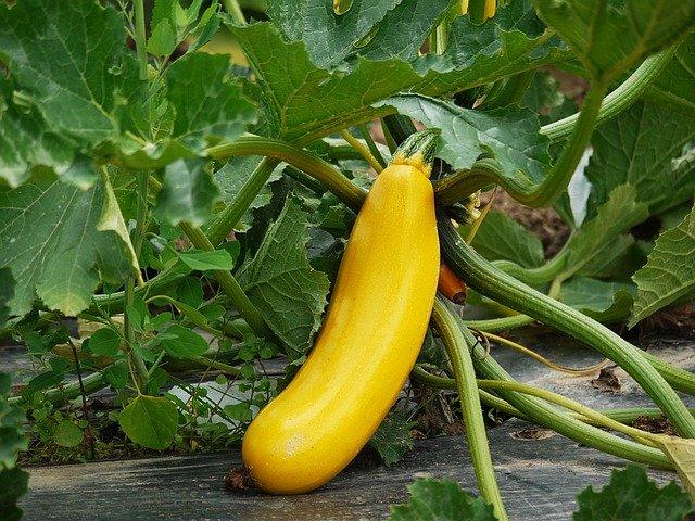 Yellow Zucchini - How to Grow Zucchini