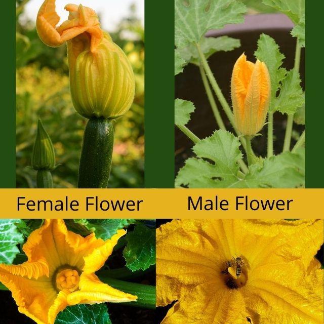 Zucchini Flower Identification Male and Female