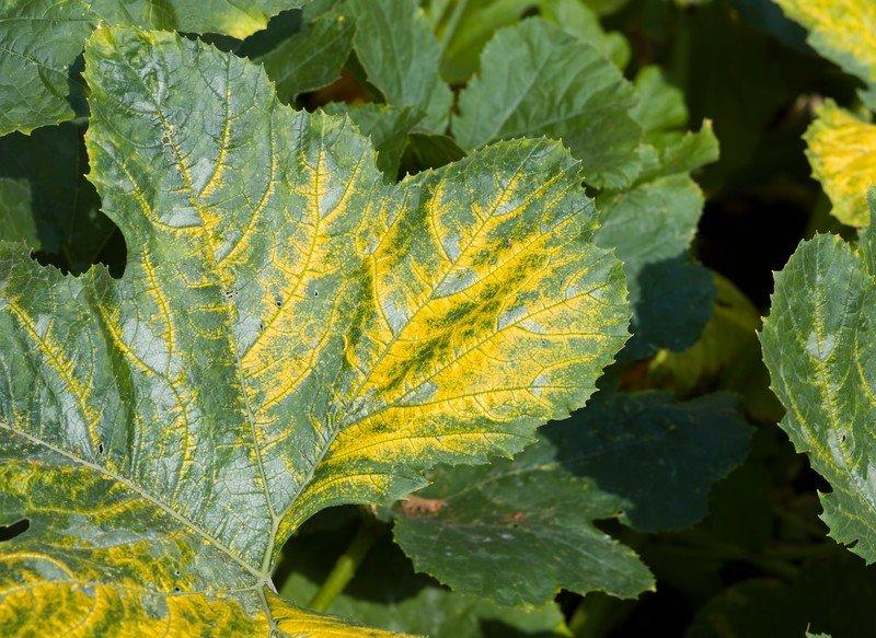 Zucchini Yellow Mosaic Virus
