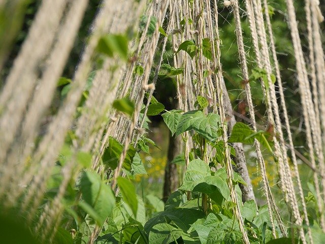 Beans Growing on a Trellis - How to Grow Beans