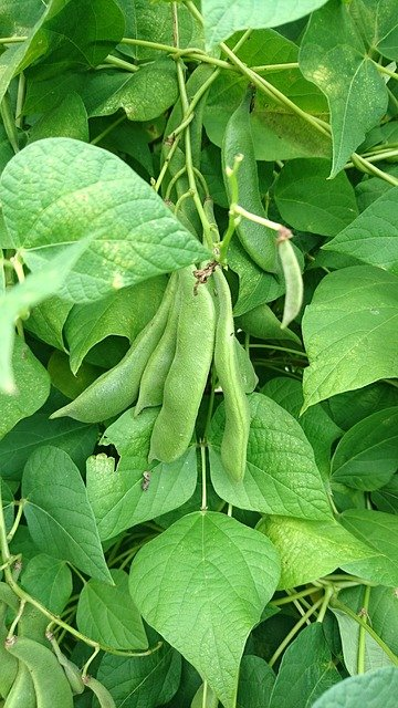 Beans Growing on the Vine - How to Grow Beans