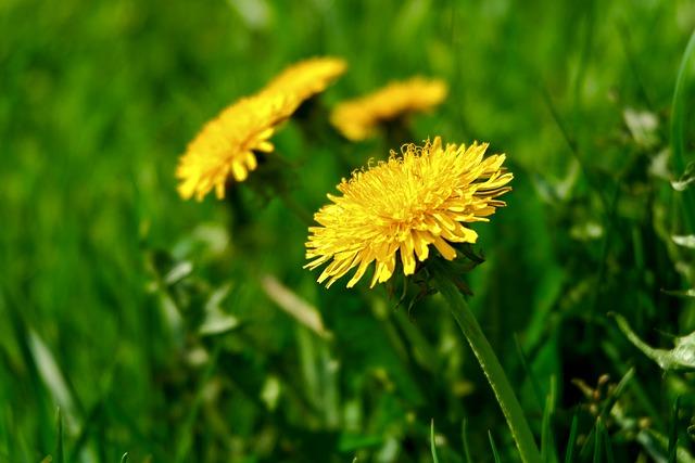 Dandelion Flower - Tips For Eating Dandelion Greens, Flowers, and Roots