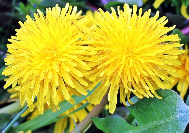 Dandelion Flowers - Tips For Eating Dandelion Greens, Flowers, and Roots