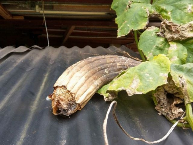 Dried out Luffa Gourd for Loofah Sponges