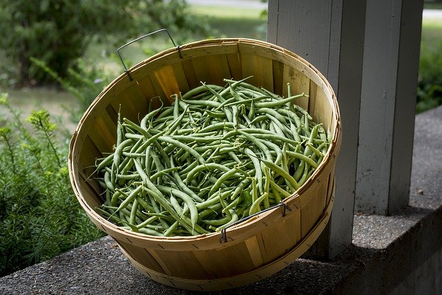 Green Bean Harvest - How to Grow Beans