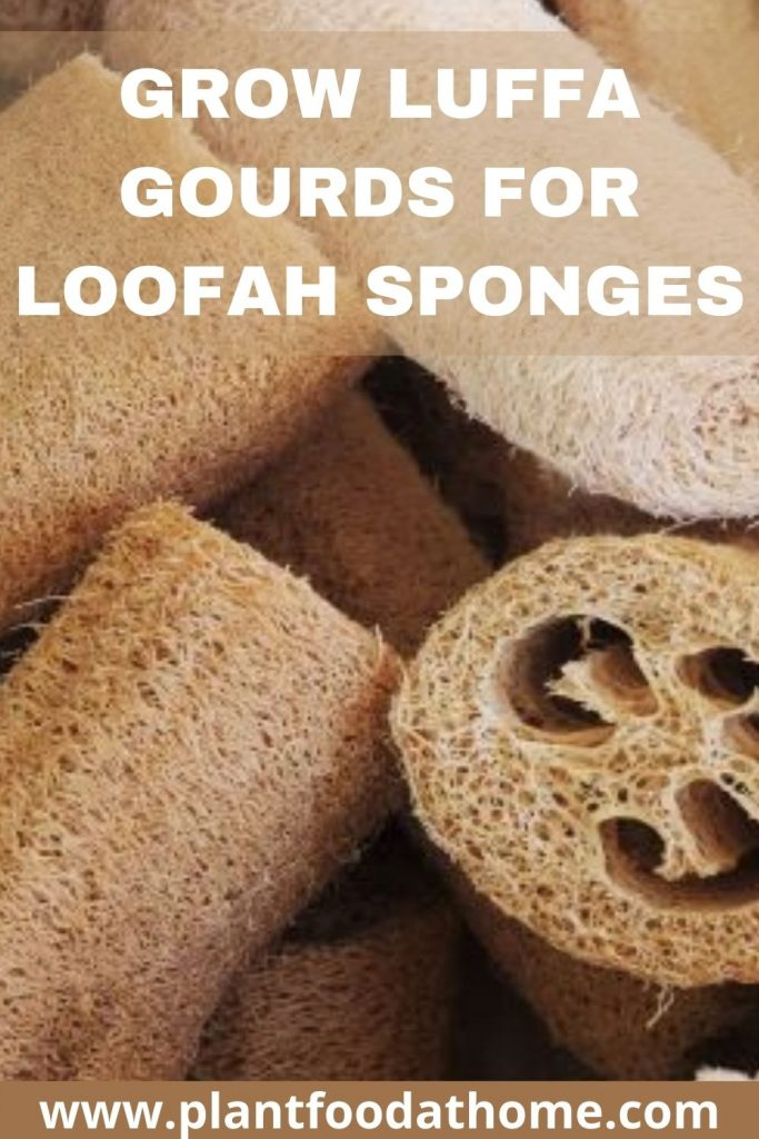 Grow Luffa Gourds for Loofah Sponges