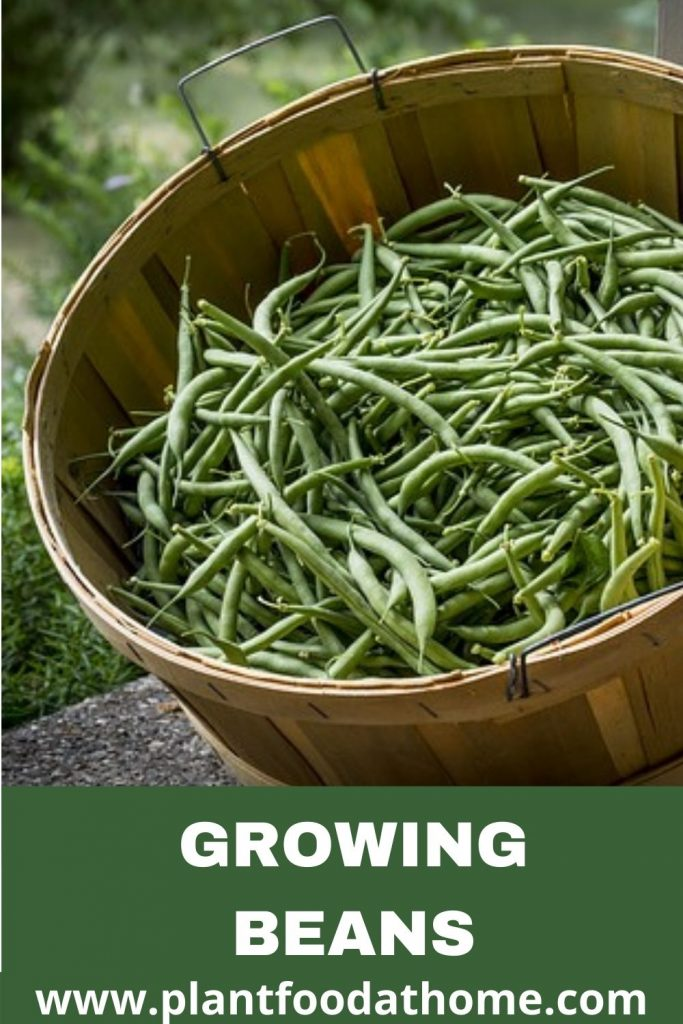 Growing Beans - Planting, Caring and Harvesting Beans at Home