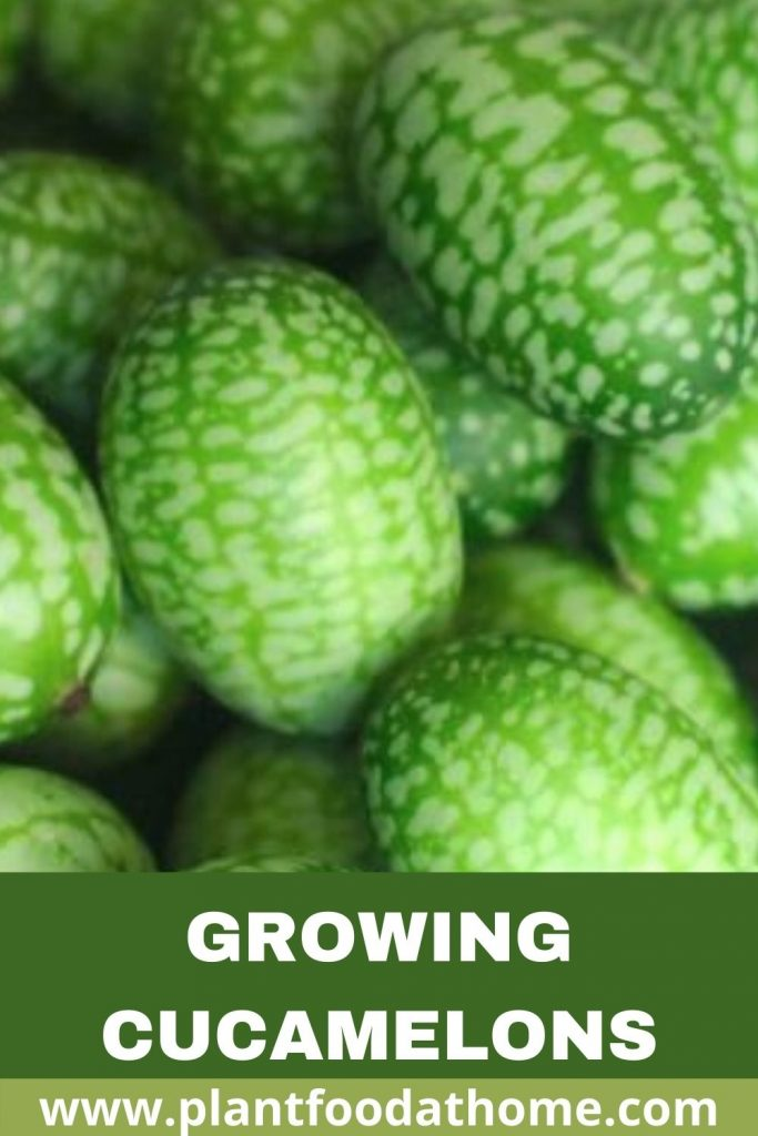 Growing Cucamelons - Mouse Melons