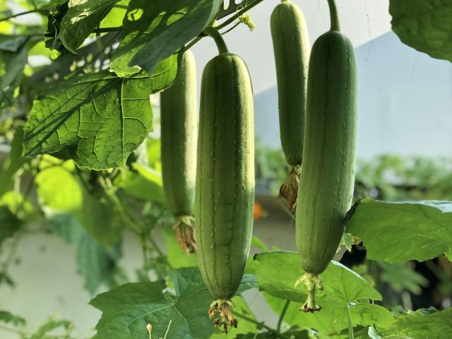How to Grow Luffa Gourds for Loofah Sponges