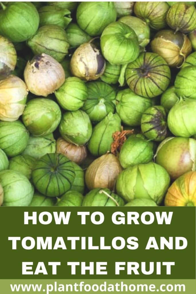 How to Grow Tomatillos and Eat the Fruit