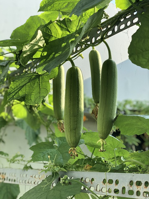 Luffa Gourds Growing on a Strong Trellis for Loofah Sponges