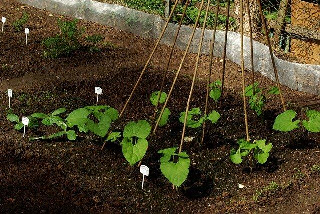 Planting Beans Around a Tee Pee Trellis - How to Grow Beans
