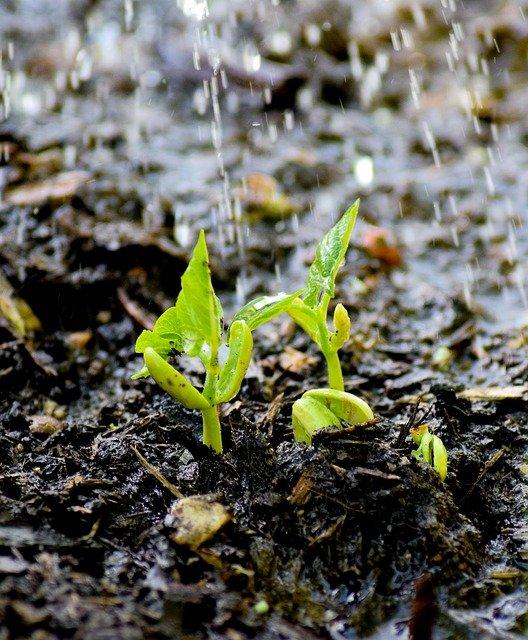 Watering Bean Seedlings - How to Grow Beans
