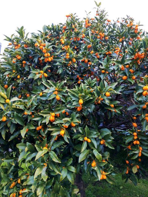 Eating Kumquats - Kumquat Tree