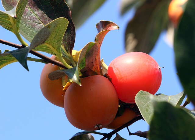 Eating Persimmons and Recipe Ideas - Astringent Persimmons Growing on the Tree